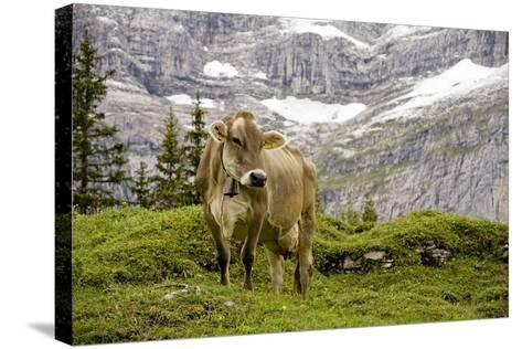 Cattle Grazing High in the Swiss Alps Near Wengen--Stretched Canvas Print