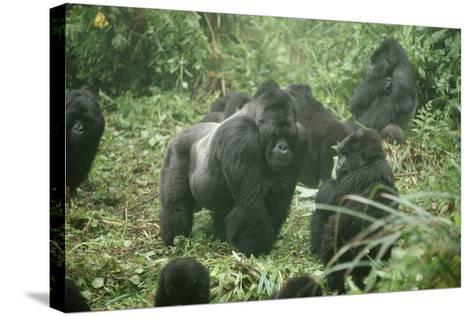 Mountain Gorilla Male Silverback-Adrian Warren-Stretched Canvas Print