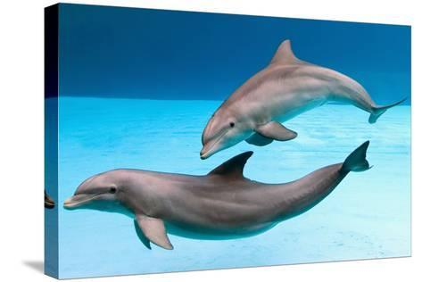 Bottlenose Dolphins Dancing Underwater-Augusto Leandro Stanzani-Stretched Canvas Print