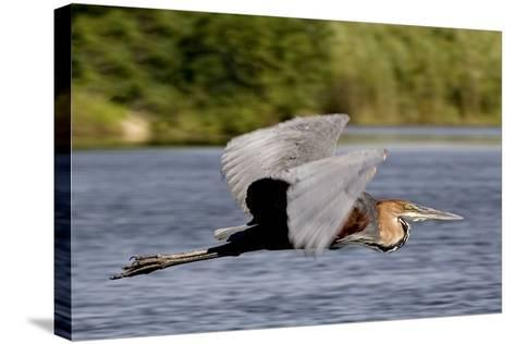 Goliath Heron in Flight-Augusto Leandro Stanzani-Stretched Canvas Print