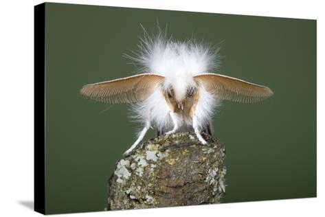 Brown-Tail Moth Male Showing Antennae--Stretched Canvas Print