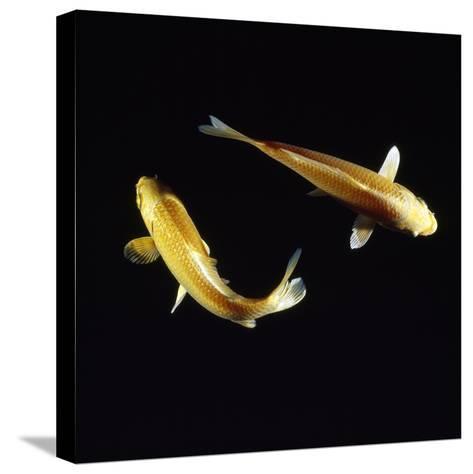 Koi Carp--Stretched Canvas Print