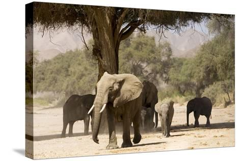 Desert Elephants, Family Finding Shade-Augusto Leandro Stanzani-Stretched Canvas Print