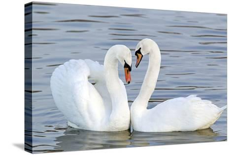 Mute Swan Courtship Display--Stretched Canvas Print