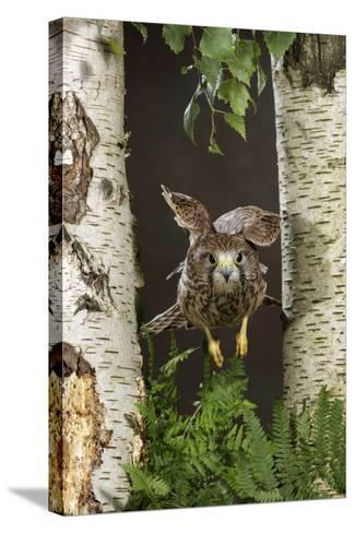 Common Kestrel Flying Between Silver Birch Trees--Stretched Canvas Print