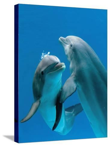 Bottlenose Dolphins, Pair Dancing Underwater-Augusto Leandro Stanzani-Stretched Canvas Print