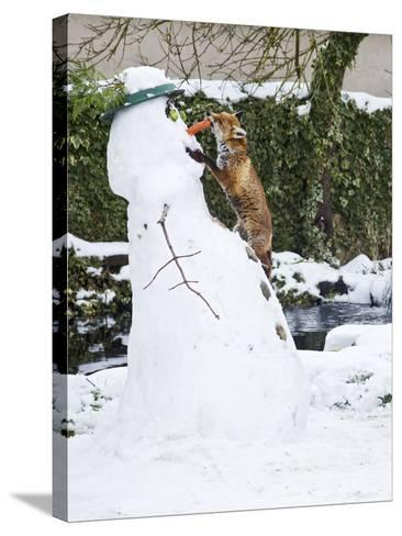 Red Fox Stealing Snowman's Nose in Winter Snow--Stretched Canvas Print