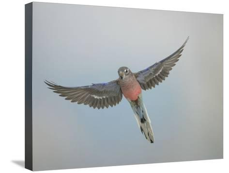 Bourkes Parakeet Male in Flight Front View--Stretched Canvas Print