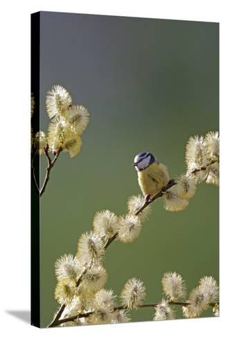 Blue Tit on Pussy Willow--Stretched Canvas Print