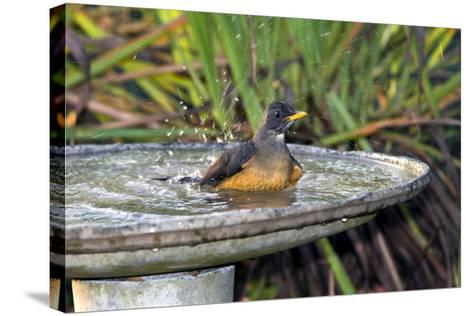 Olive Thrush Bathing in Birdbath-Alan J. S. Weaving-Stretched Canvas Print