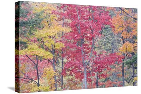 Autumn Colour Maple Woodlands--Stretched Canvas Print