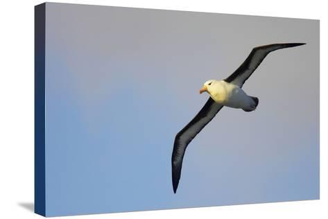 Black-Browed Albatross in Flight--Stretched Canvas Print
