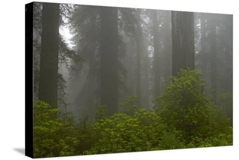 Coastal Redwood Forest in Fog--Stretched Canvas Print