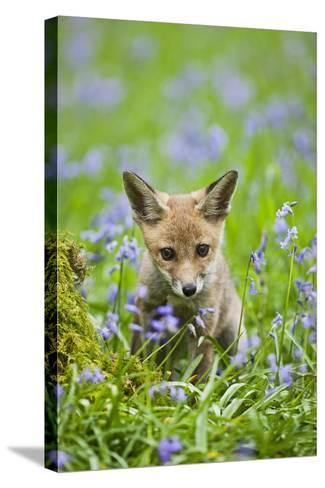 Red Fox Cub in Bluebell Woodland--Stretched Canvas Print