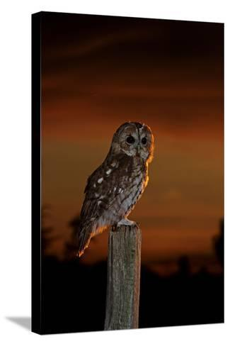 Tawny Owl on Post at Sunset--Stretched Canvas Print