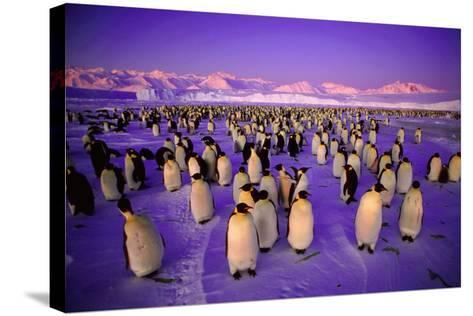 Emperor Penguin Colony in Twilight--Stretched Canvas Print