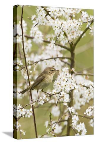 Chiffchaff on Blackthorn Blossom--Stretched Canvas Print