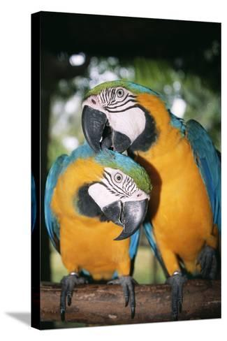 Blue and Yellow Macaws-Andrey Zvoznikov-Stretched Canvas Print