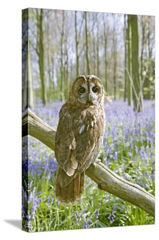 Tawny Owl in Bluebell Wood--Stretched Canvas Print