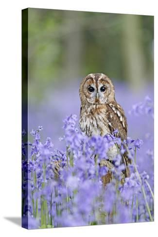 Tawny Owl on Stump in Bluebell Wood--Stretched Canvas Print