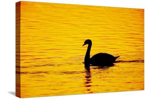 Mute Swan Sunset--Stretched Canvas Print