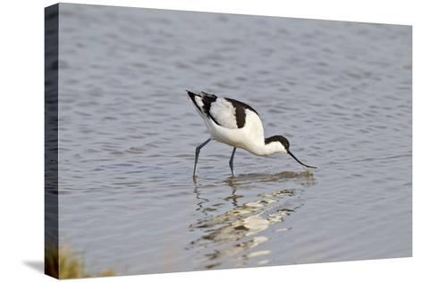 Avocet Feeding--Stretched Canvas Print