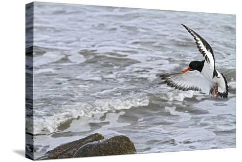 Oystercatcher Landing on Rock--Stretched Canvas Print