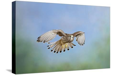 Common Kestrel in Flight--Stretched Canvas Print