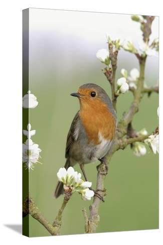 Robin on Plum Blossom--Stretched Canvas Print