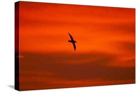 Southern Giant Petrel in Flight at Sunset--Stretched Canvas Print