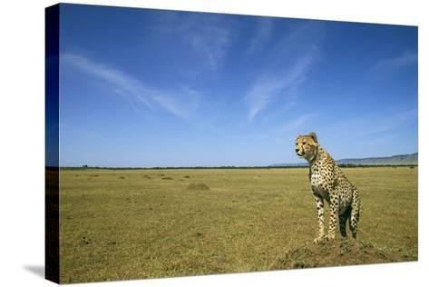 Cheetah Standing on Vantage Point--Stretched Canvas Print