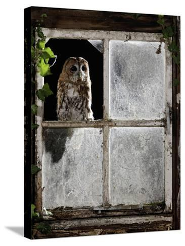 Tawny Owl Looking Through Shed Window--Stretched Canvas Print