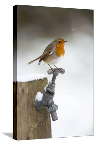 Robin in Snow on Garden Tap--Stretched Canvas Print
