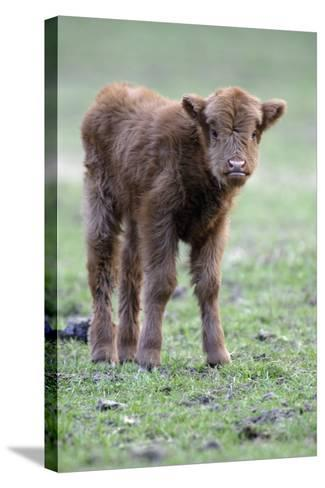 Highland Calf in Meadow, Looking Inquisitive--Stretched Canvas Print