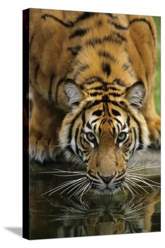 Sumatra Tiger Drinking, Portrait--Stretched Canvas Print
