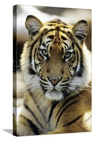 Sumatra Tiger Portrait--Stretched Canvas Print