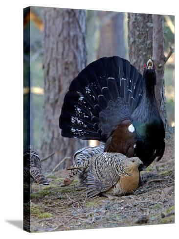 Capercaillie Male and Hen Displaying on Lek In--Stretched Canvas Print