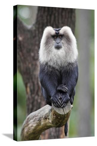 Liontail Macaque Male Sitting on Branch--Stretched Canvas Print