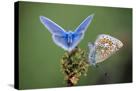Common Blue Butterfly Male and Female--Stretched Canvas Print
