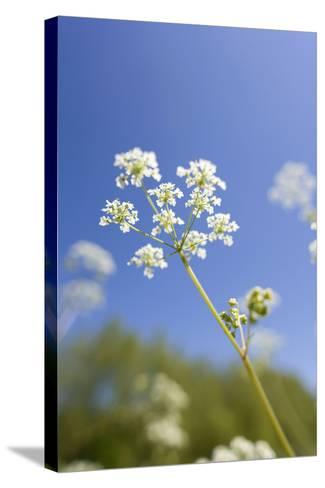 Cow Parsley Flowers--Stretched Canvas Print