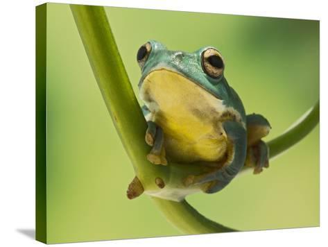 Blanford Tree Frog Gripping Plant Stem--Stretched Canvas Print