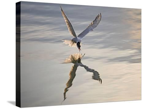 Common Tern Takes Fish at Sunset--Stretched Canvas Print