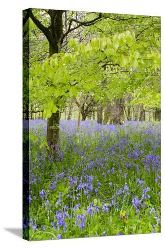 Bluebells Amongst Beech Trees in Spring--Stretched Canvas Print