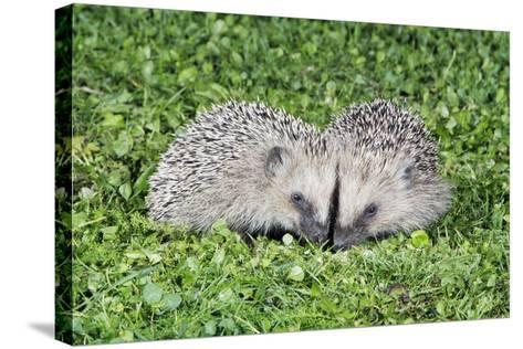 Hedgehog 2 Young Animals on Garden Lawn--Stretched Canvas Print