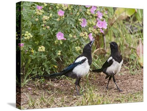 Magpie Youngsters Interacting in Garden--Stretched Canvas Print