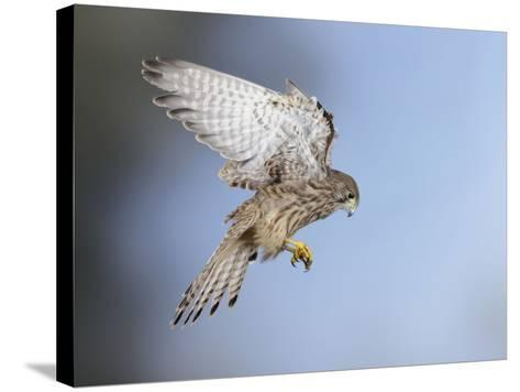 Common Kestrel Hovering--Stretched Canvas Print