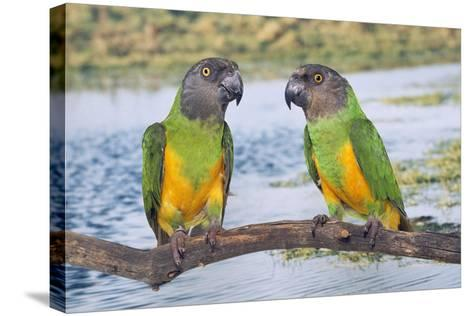 Senegal Parrot Two--Stretched Canvas Print
