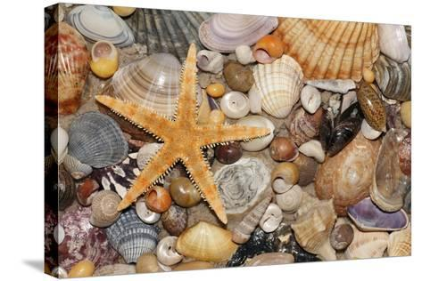 Atlantic Mixed Shells and Starfish on Beach--Stretched Canvas Print