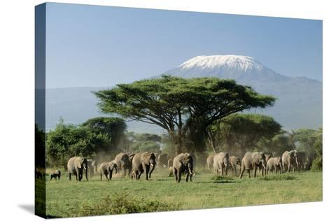 African Elephant Herd Infront of Mt, Kilimanjaro--Stretched Canvas Print