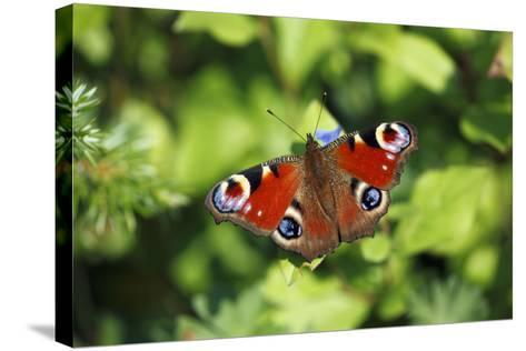 Butterfly, Peacock Resting on Flower in Garden--Stretched Canvas Print